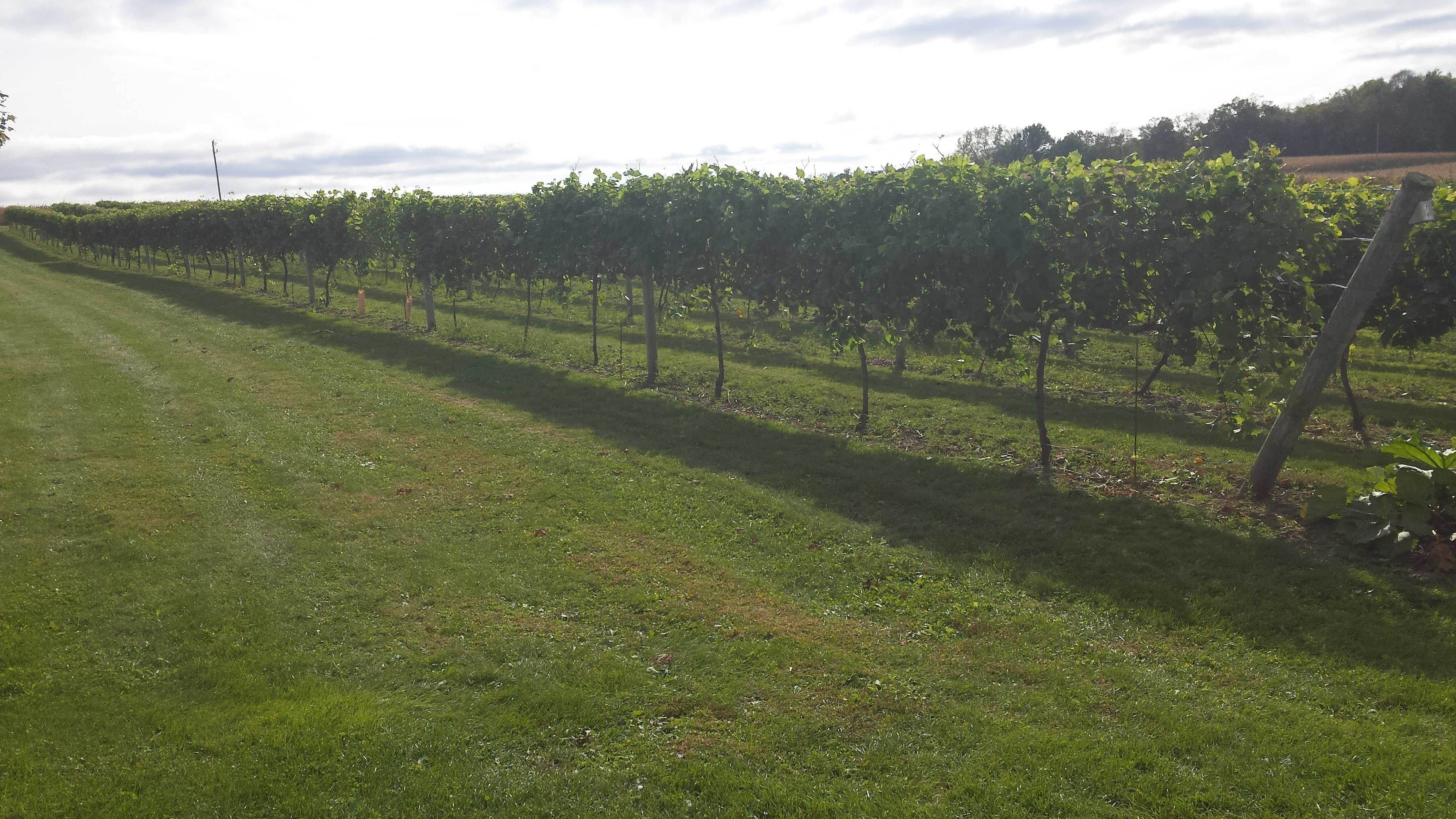 Grape Vines at Whitewater Wines