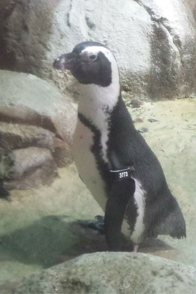 Penguin at the Minnesota Zoo