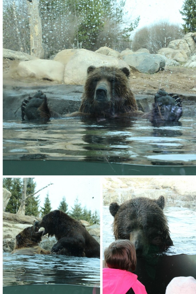 Bears Swimming