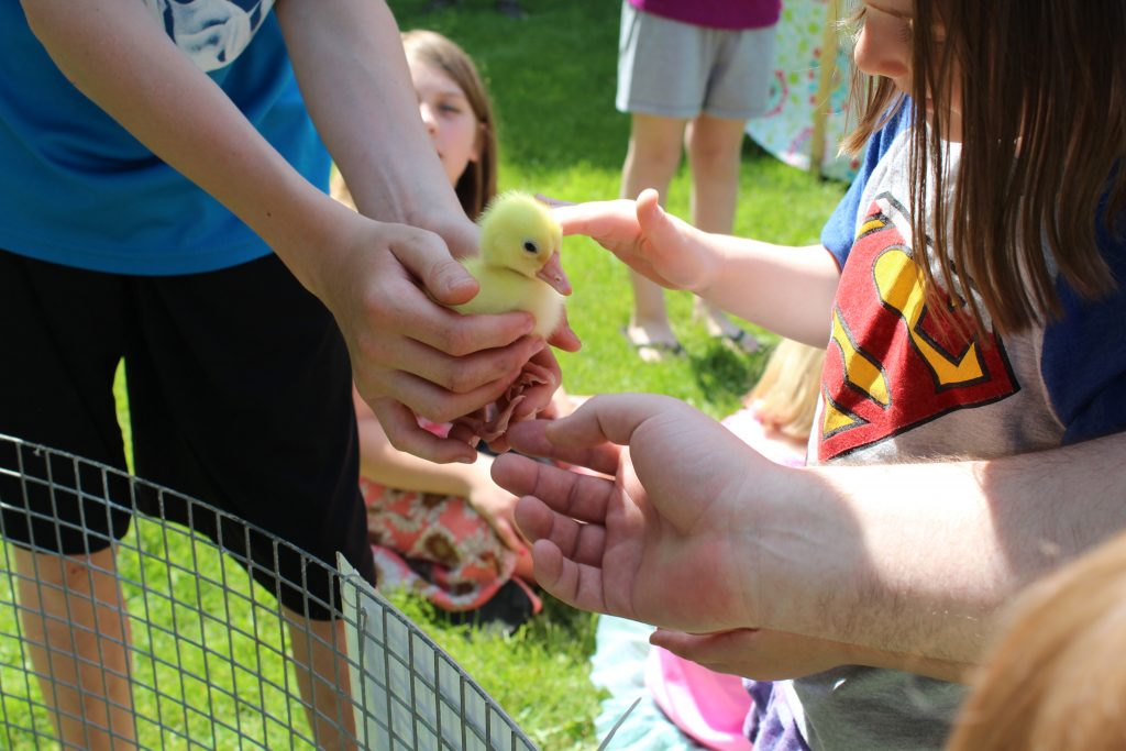 Ducklings at Petting Zoo