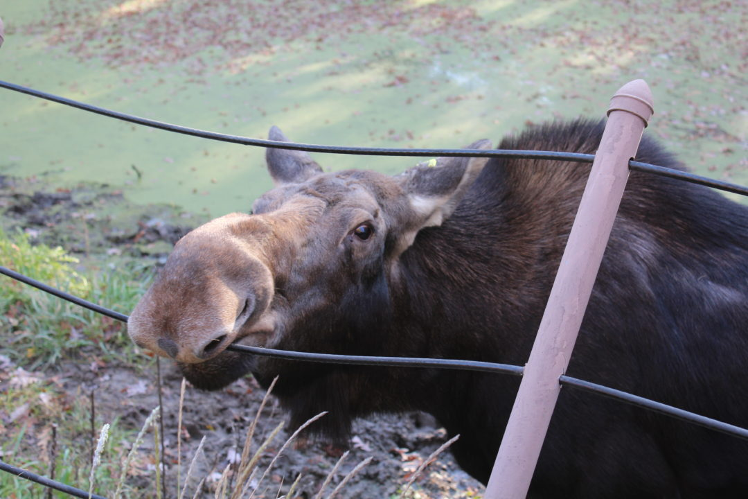 Moose at the MN Zoo