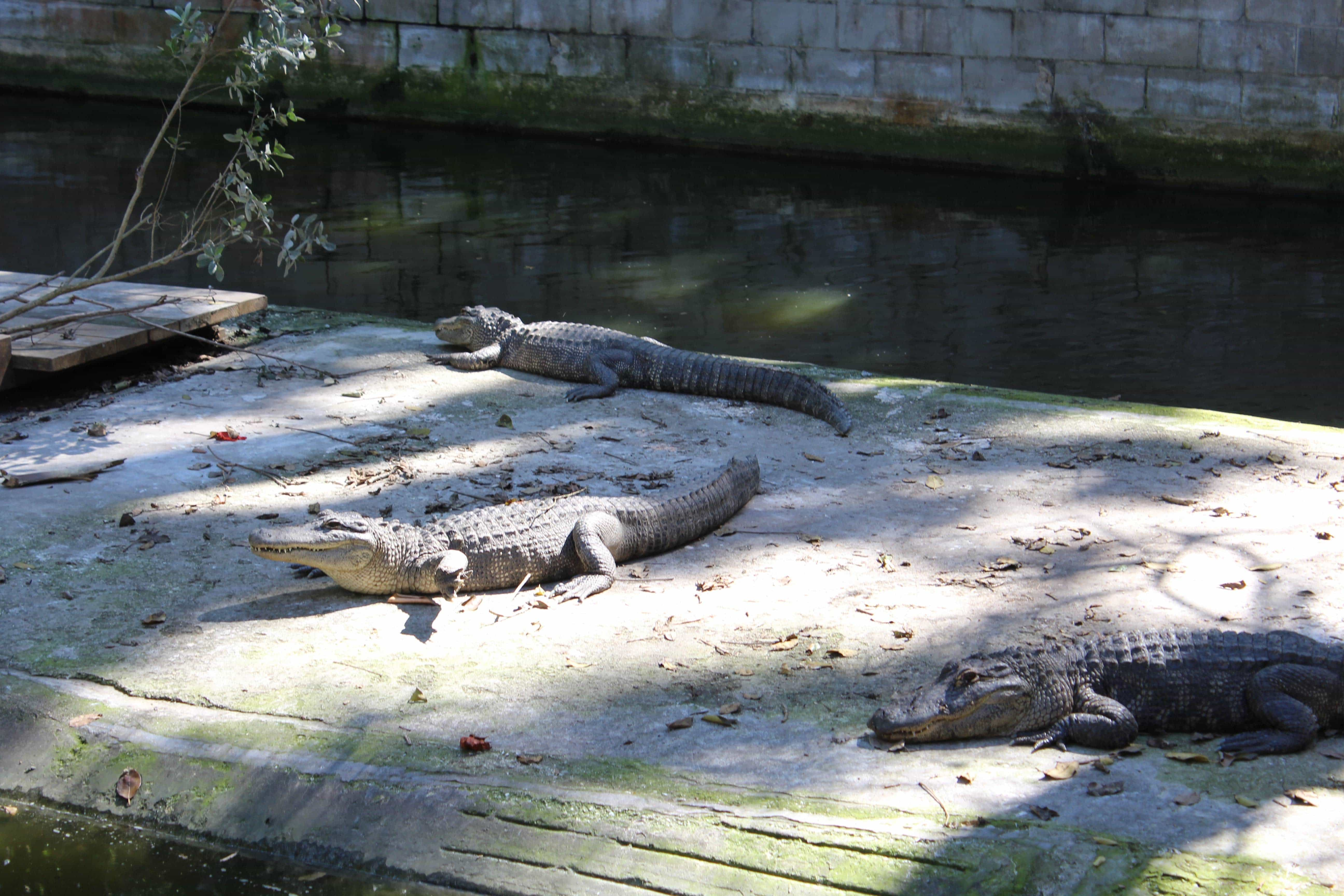 Rescued Gators find a new home