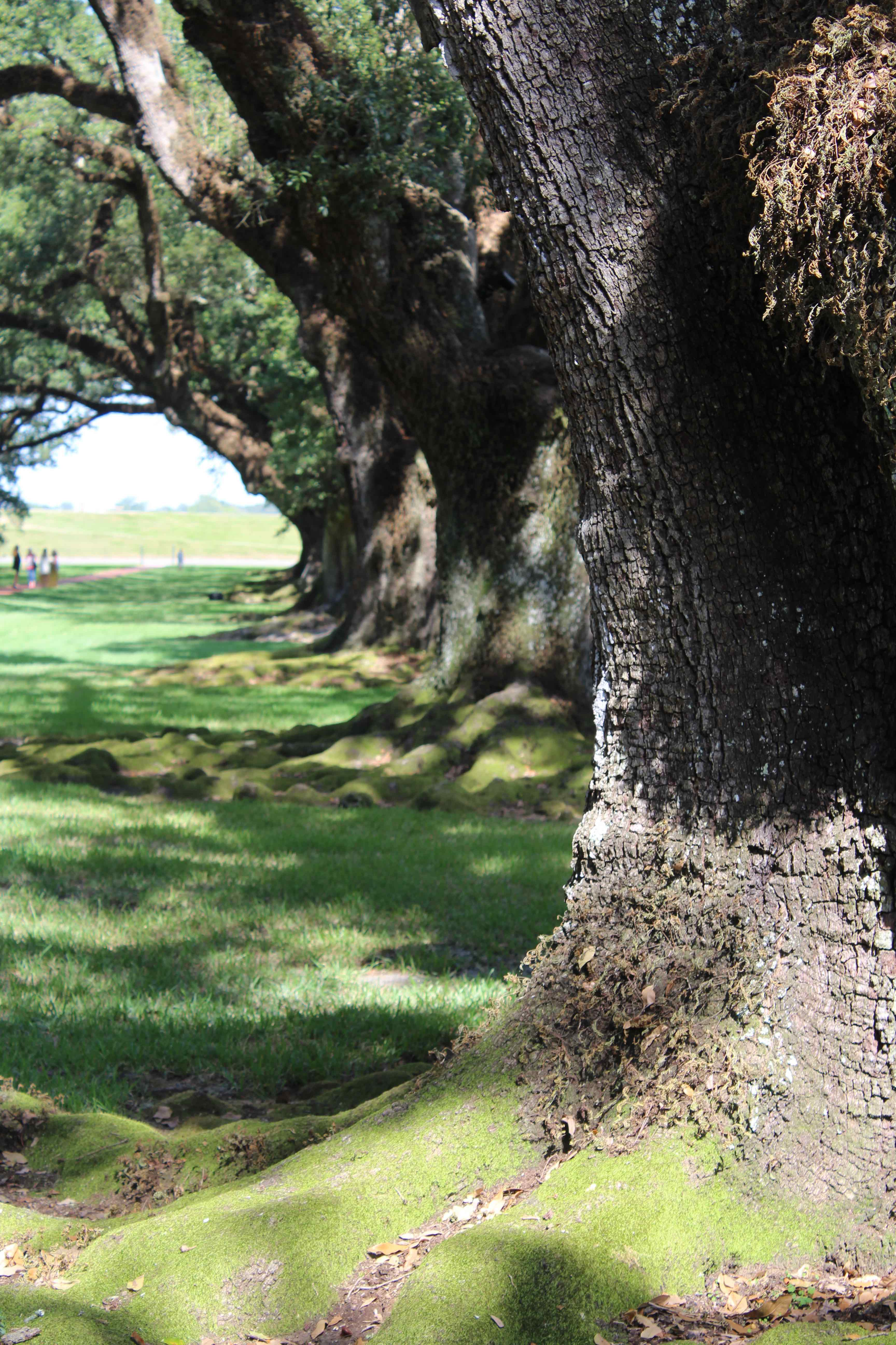 300 year old Oaks at Oak Alley Plantation