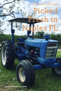 Freshly picked and from the farm in Naples Florida. Visiting the Orange grove is the best way to spend your weekend in Naples. #FloridaOrange #NaplesFlorida