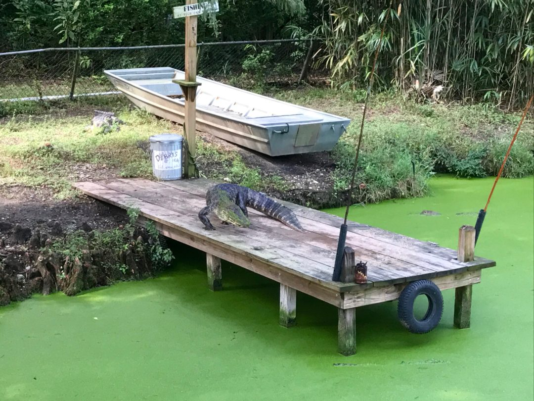 Alligator at the Audubon Zoo in NOLA