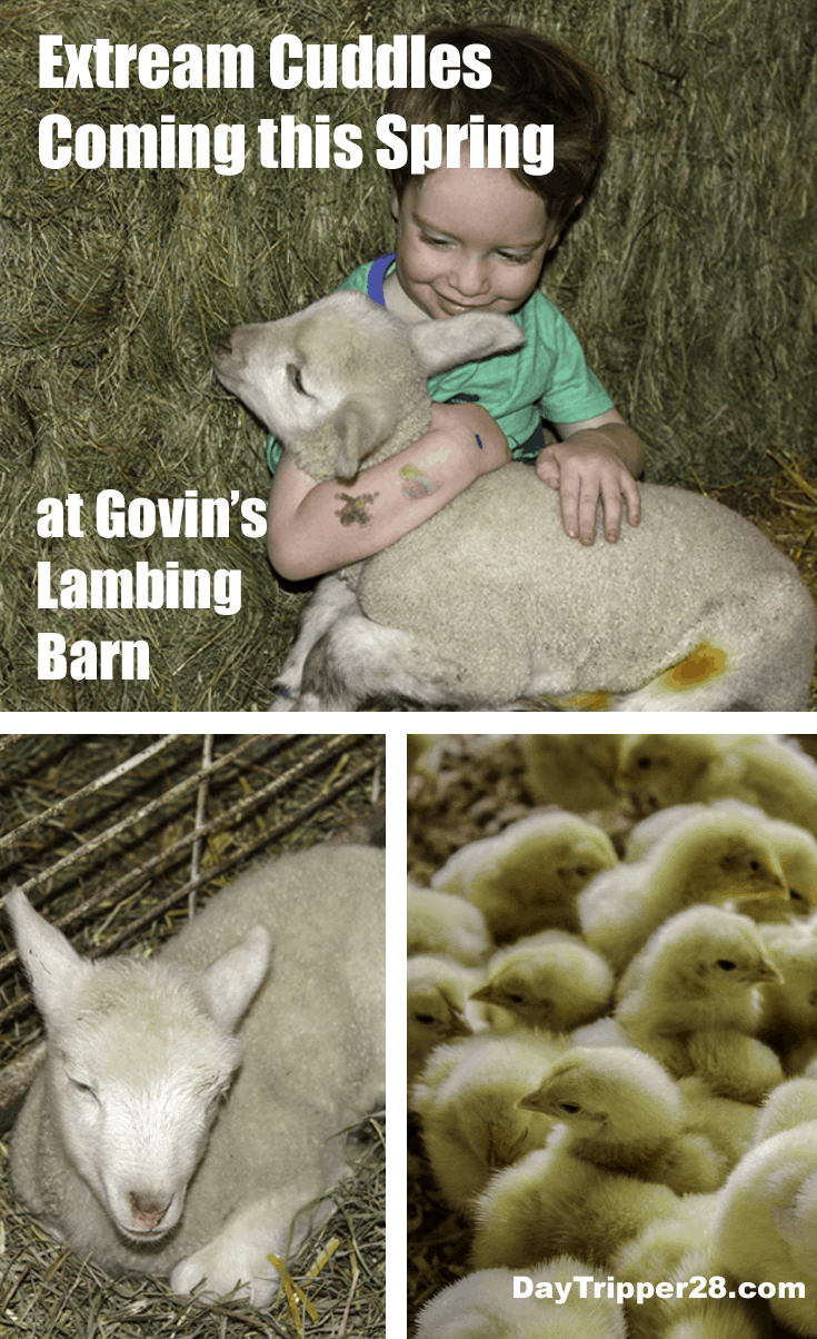 Cuddle up this spring with the newest members of the Govin's Lambing Barn. This petting zoo is spring time family fun! Menominie Wisconsin | Wisconsin Fun | Govins Lambing Barn | Things to do in the Twin Cities | Wisconsin | Farm Fun