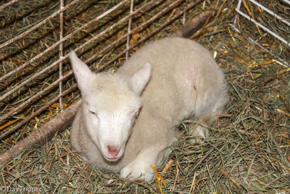 The Lamb Barn experience at Govin's Meats & Berry Farm