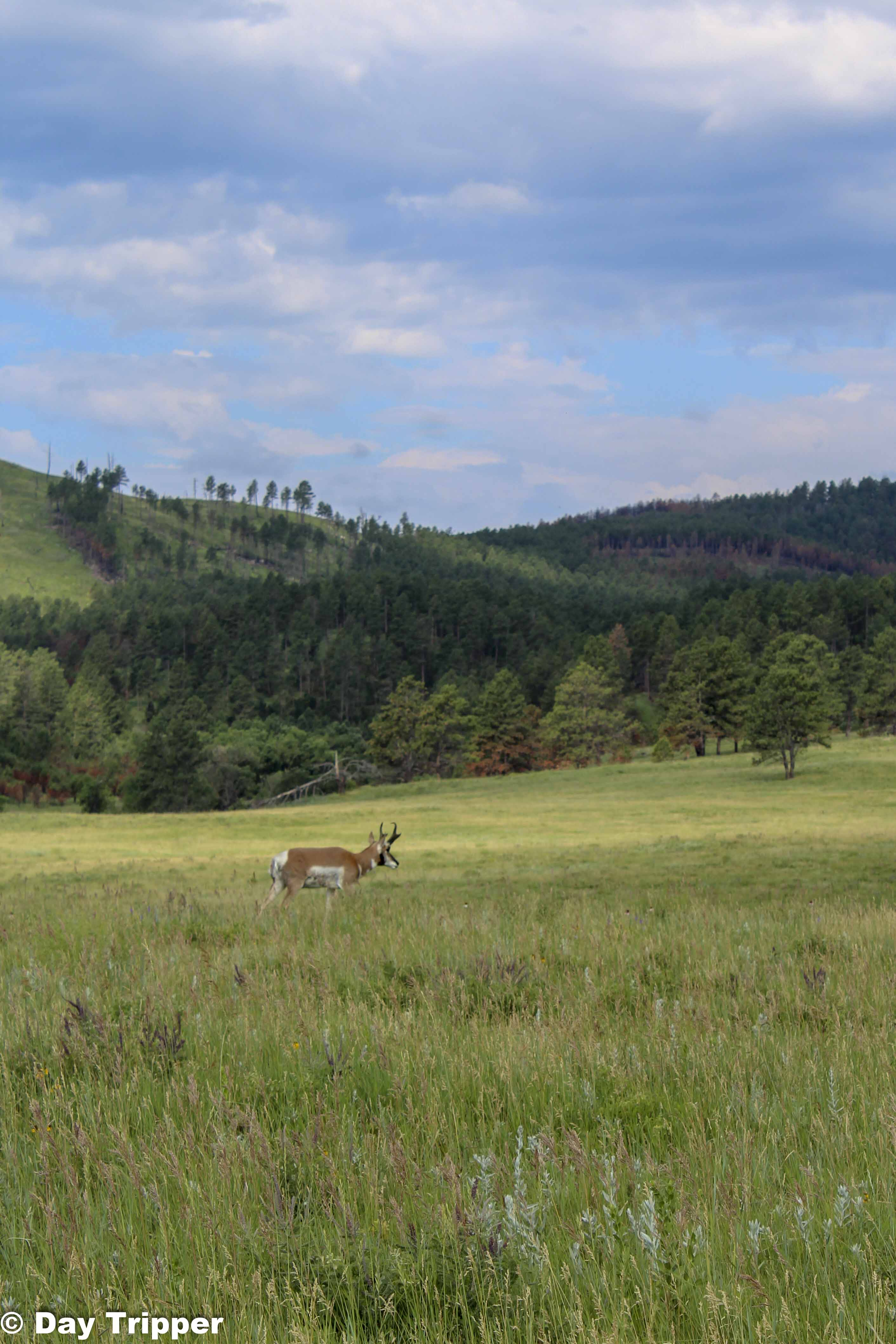 Big Horn at Custer State Park