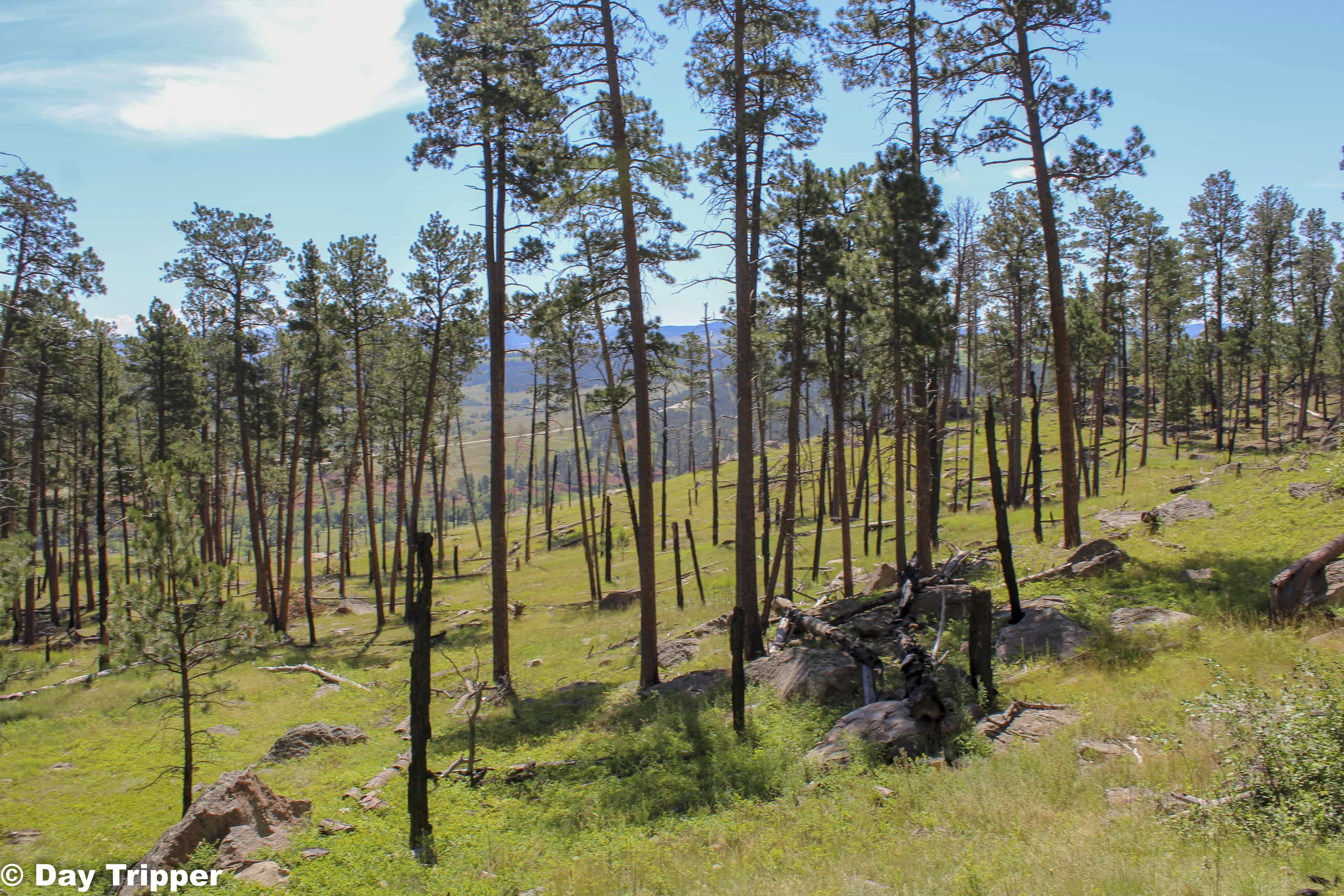 The Forrest at Devils Tower